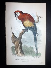 C. W. Gedney 1888 Antique Hand Col Bird Print. Scarlet and Blue Macaw